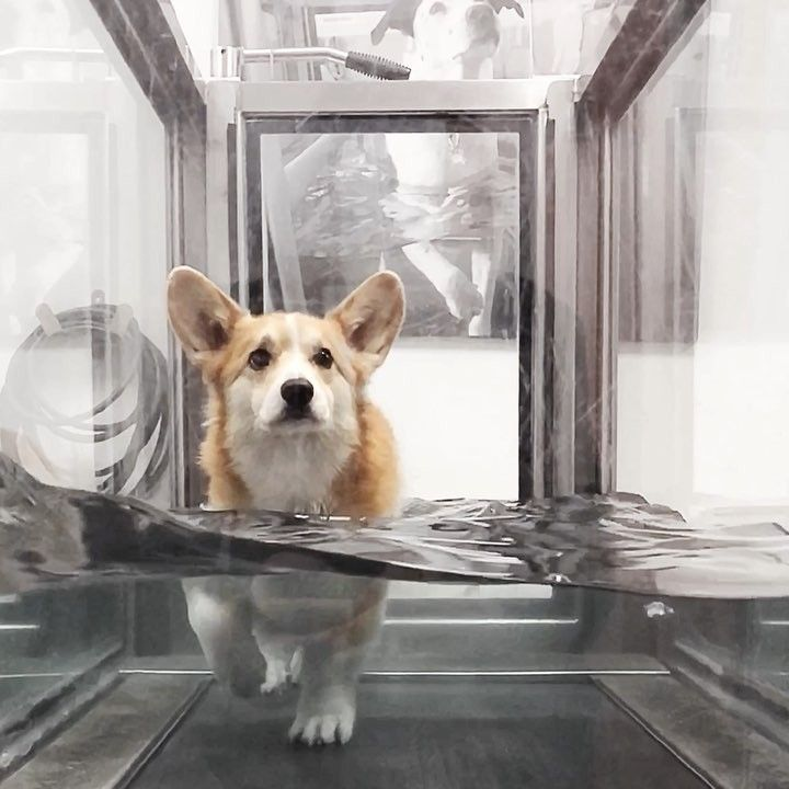 My Sweet Girl Did This During Rehab Too Bless Their Lil Corgi Hearts Discover The Best Corgi Goods Only At Corgilov Corgi Cute Animals Funny Animal Pictures
