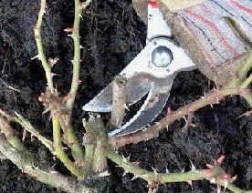 Как обрезать розы правильно и когда это нужно делать?