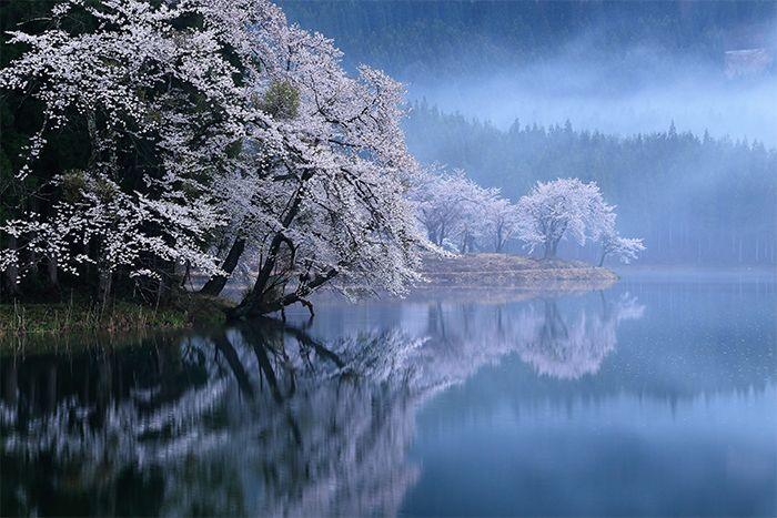 朝靄の桜 新潟県津南町