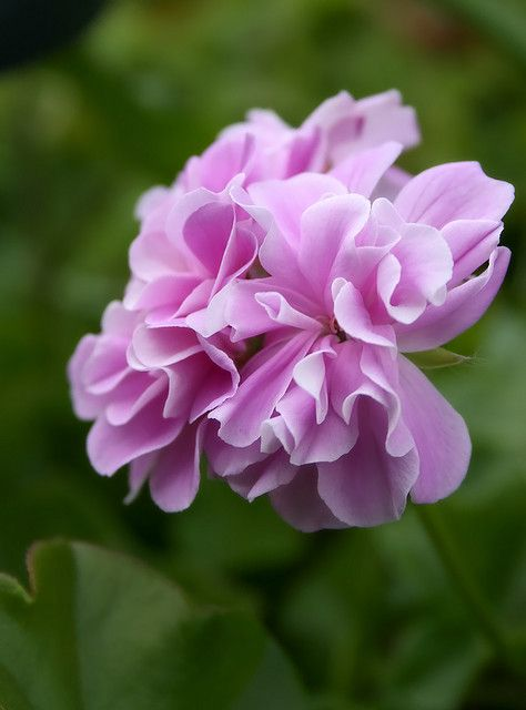 1000 ideas about geranium care on pinterest overwintering red geraniums and geraniums - Overwintering geraniums tips ...
