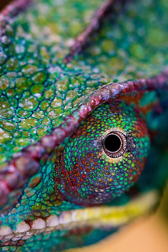 Chameleon's colorful eye ... awesome colors