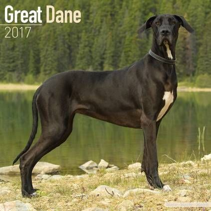 Avonside Hunde Wandkalender 2017: Great Dane - Deutsche