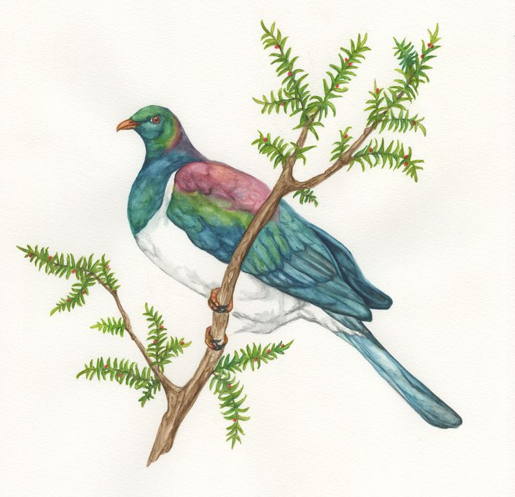 New Zealand wood pigeon By Madison drinkall. www.madisondrinkall.com