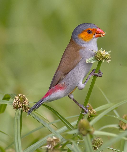 Orange-cheeked Waxbill is a common species of estrildid finch native to western and central Africa.