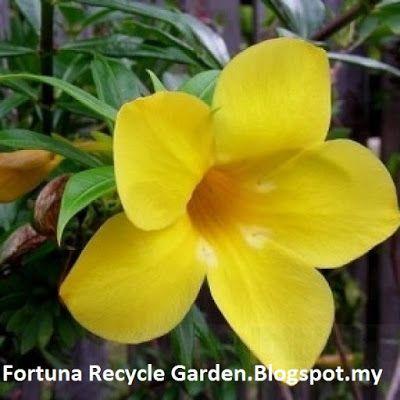 """Tanaman Herba Ajaib """"Alamanda Genus"""" Berkhasiat Dan Berbunga Cantik"""