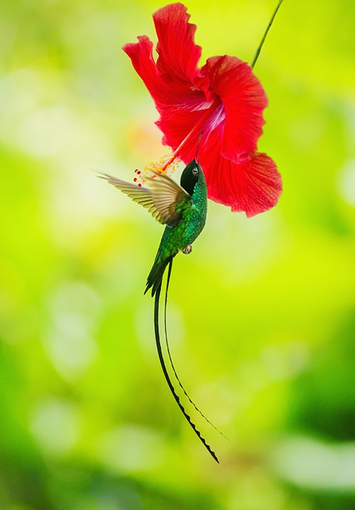 Jamaica's National bird...doctor bird or swallow tail humming bird (Trochilus Polytmus), is one of the most outstanding of the 320 species of hummingbirds. It lives only in Jamaica. These birds' beautiful feathers have no counterpart in the entire bird population and they produce iridescent colours characterstic only of that family. In addition to these beautiful feathers, the mature male has tow long tails which stream behind him when he flies.