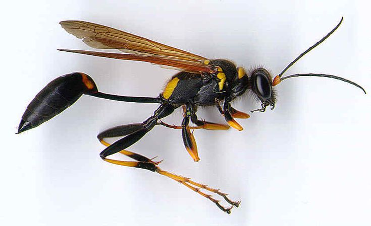 Google Image Result for http://pestcontrolcanada.com/INSECTS/bymudd_s.jpg
