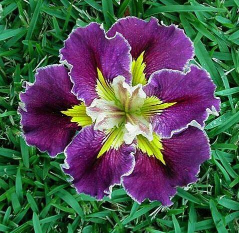 Iris Gardens Plantfiles Picture 1 Of Louisiana Iris