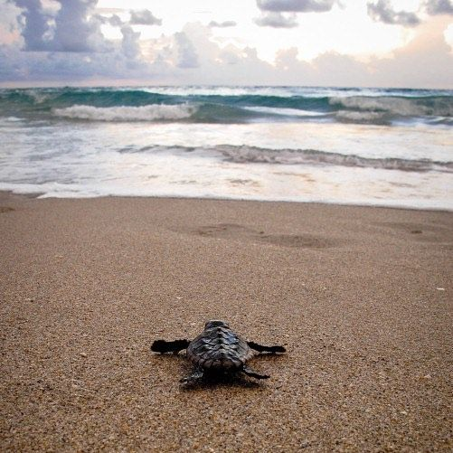 Wish we were headed for the water like this little loggerhead. Happy #TurtleTuesday!  Photo by Bryan Clark #loggerhead #hatchling #Atlantic #seaturtle #marinelife #beach #ocean #photography #ourocean #