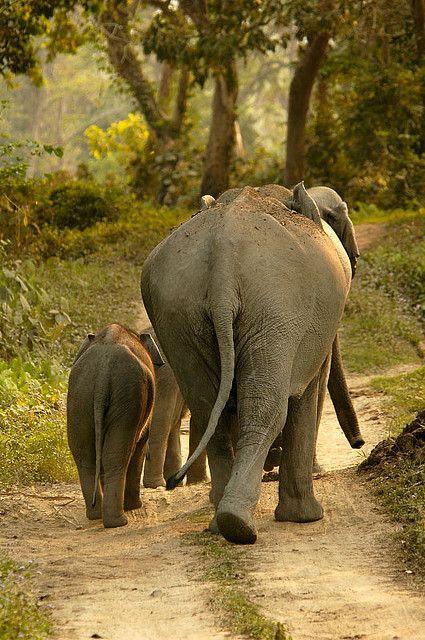 Elephant and Calf - Kaziranga National Park, Assam, India