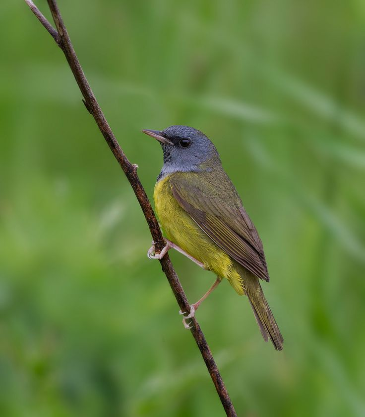 1000+ images about Warblers and Vireos on Pinterest ...