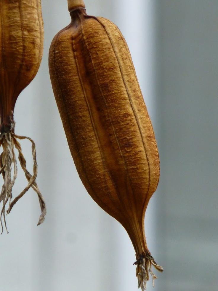 Yucca seedpod