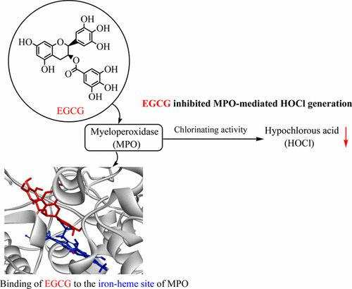 Inhibition of Myeloperoxidase- and Neutrophil-Mediated Hypochlorous Acid Formation in Vitro and Endothelial Cell Injury by…