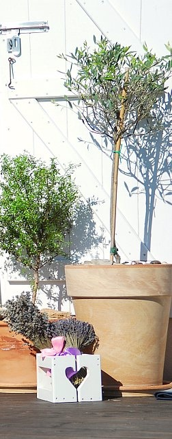 114 best images about trees in pots on pinterest trees for What to plant under olive trees
