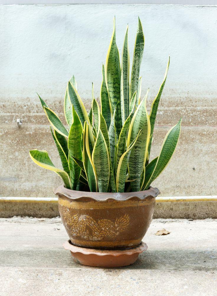 Planten maken je huis gezellig en knus. Maar ze kunnen ook een gezonde werking hebben, zoals de lucht in je huis zuiveren van giftige stoffen. Omdat wij graag twee vliegen in één klap slaan hebben we vijf kamerplanten op een rijtje gezet die de lucht in je huis filteren én