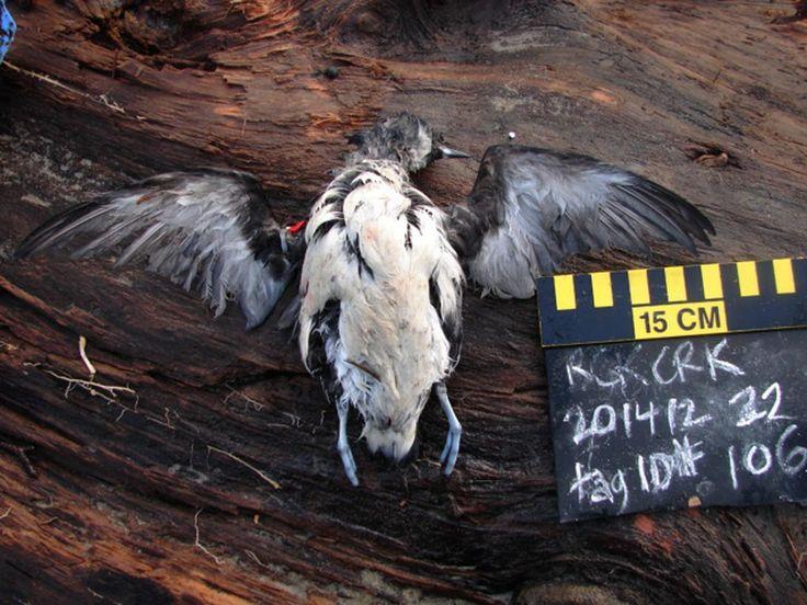 Mass Death of Seabirds in Western U.S. Is 'Unprecedented' Hosea 4:1-3