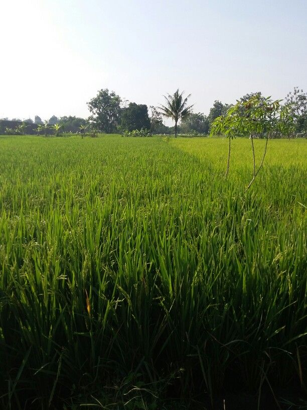 Through the shimmering green fields. #jogja