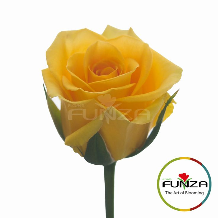 Yellow Rose from Flores Funza. Variety: High and Exotic, Availability: Year-round