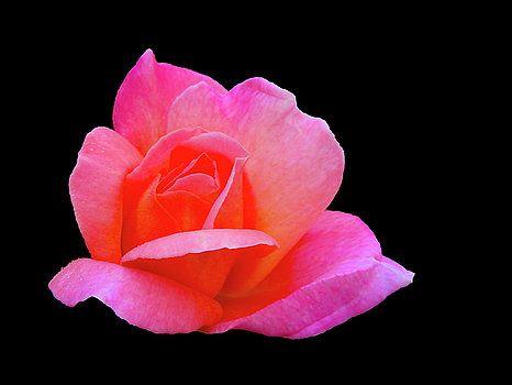 Sparkling Rose by Mark Blauhoefer