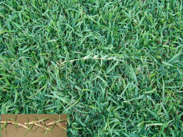 "Best Lawn Grass for Zone 9a: Centipede Grass (Eremochloa Ophiuroides) Thick, uniform, low-growing, coarse texture with short upright stems that grow to about 3""-5"" & spread by stolons. Med to light green. Low maintenance (less mowing). Keep cut at 1.5""-2"" to prevent thatch. Drought tolerant. Adapted sandy, low fertility, acidic soils. Thrives moderately fertile & moderately acidic. Moderate shade tolerant. Limited traffic tolerance. Can use 3lbs nitrogen per 1000 sqft 1-2x yr."