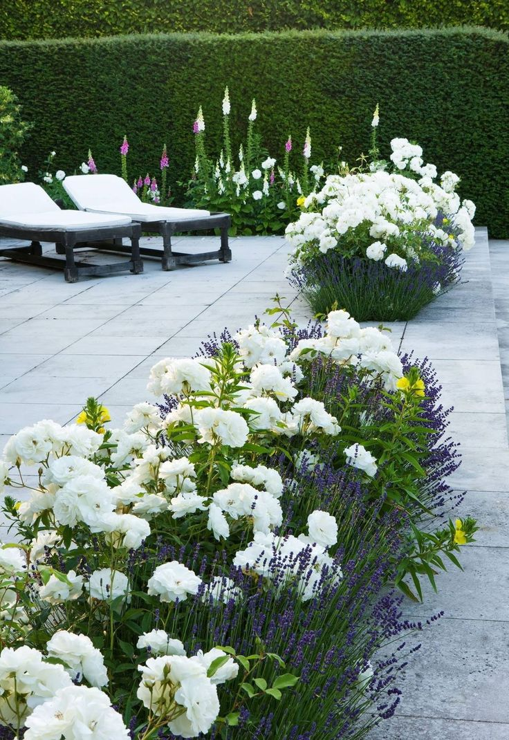 white rose,lavender, primrose path. backed by blazing star and hollyhocks, evergreen hedge