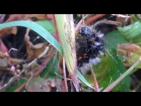 Nature Video, 自然 映像, しぜん どうが, приро́да изображе́ние, 자연 영상[KakaoTV 벅스라이프]The larvae are resting, moving slowly while moving. Euproctis similis, Yellow-tail, 黃尾毒蛾, チャドクガ, 독나방, 애벌레, larva, 幼蟲, 壤虫, ようちゅう, larve, Larvae, sâu con, ตัวอ่อน, लार्वा.