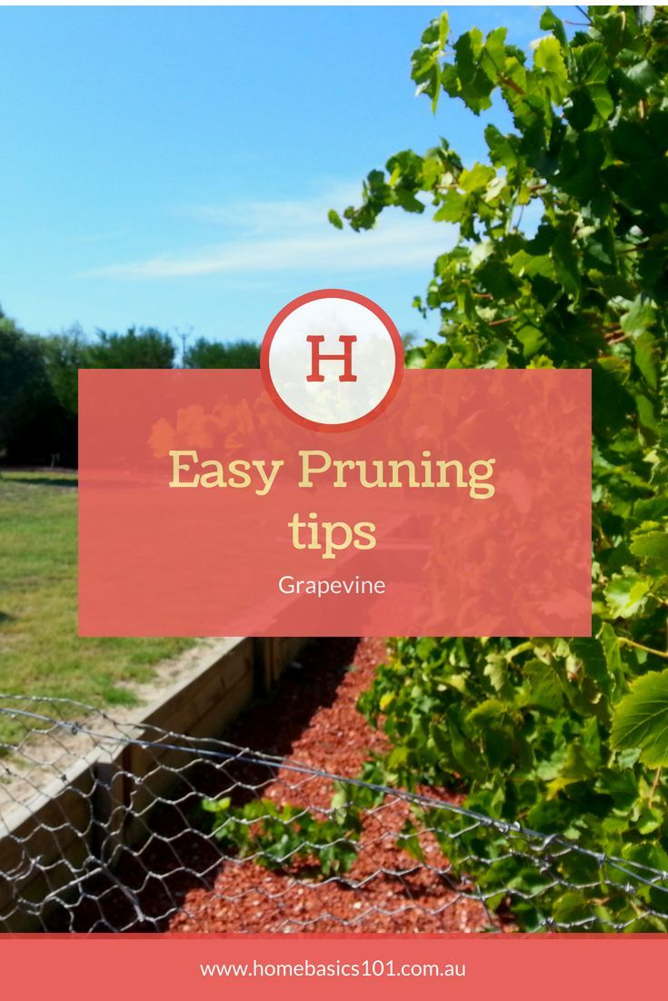 Pruning Grapevines Having A Grapevine Is A Wonderful Addition To Any Garden They Love Full Sun And Require Little Grape Vines Grape Vine Pruning Easy Garden