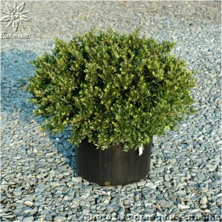 Taylor S Rudolph Dwarf Yaupon Holly Evergreen With Berries