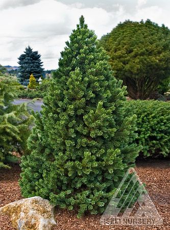 how to grow pine nuts
