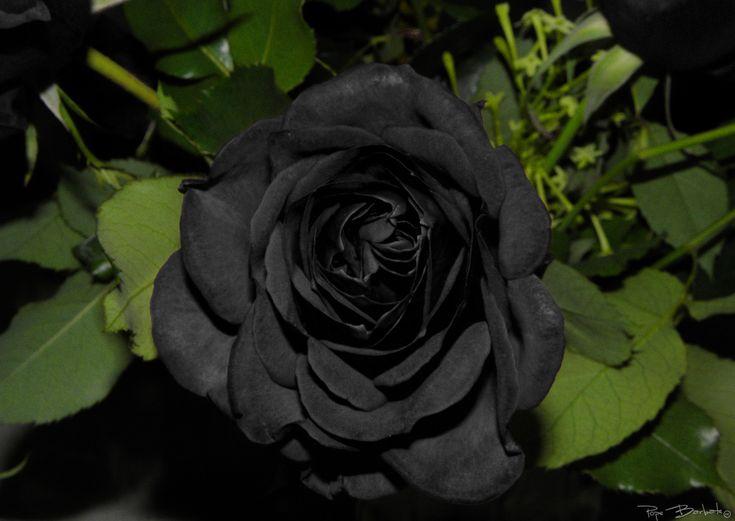 Rosas negras, ¿existen de forma natural? - http://www.jardineriaon.com/rosas-negras.html #plantas