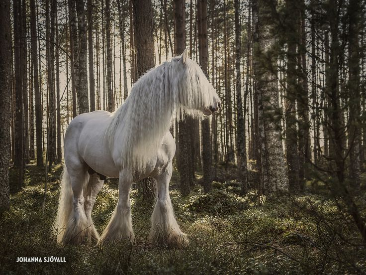 Equine Photography - Guide Of The Forest, The Blue Boss stallion, Finland