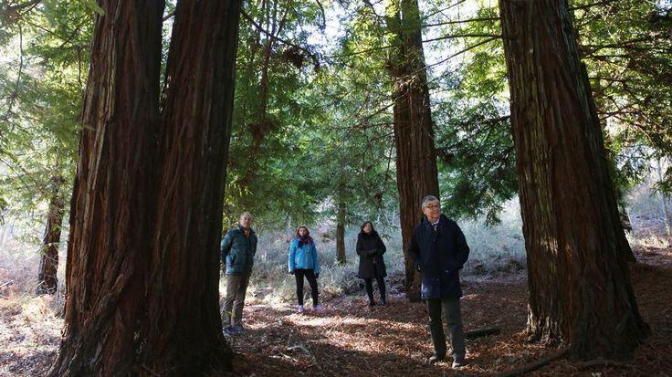 Un bosque de secuoyas sale del olvido en Ponte Caldelas tras creerse calcinado