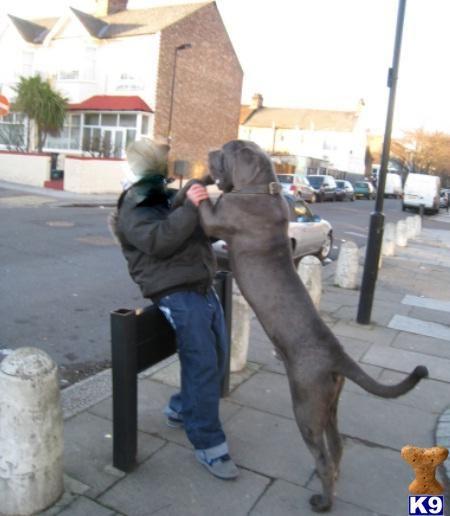 neapolitan mastiff rescue texas