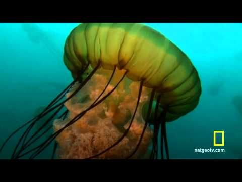 ITALIAN ACCENT. You Tuber and scientist Cristina Gioia Di Camillo is from Italy. VIDEO: Here she discusses reproduction of  jellyfish. (Thank you Sue T. for the link!)▶ Jellyfish reproduction - YouTube