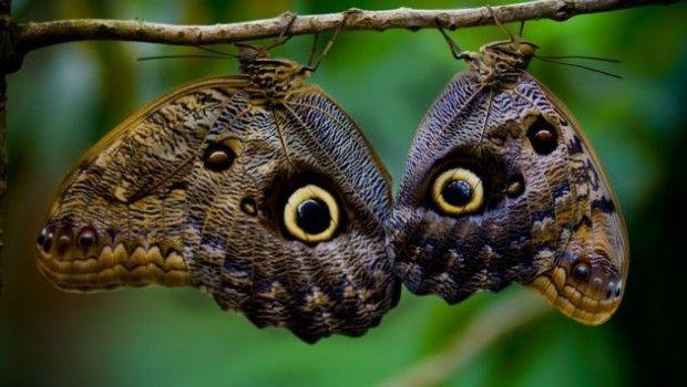 15- Mariposa búho (Caligo idomeneus).Sudamérica. Automimetismo. Defensa por mimetismo.