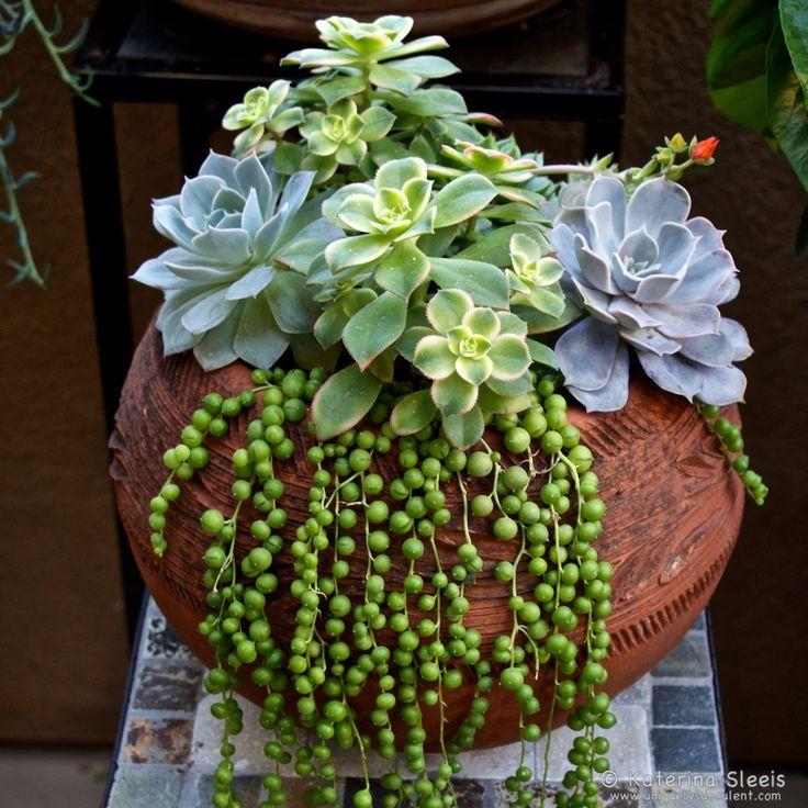 Senecio rowleyanus string of pearls succulent playfully for Garden arrangement of plants
