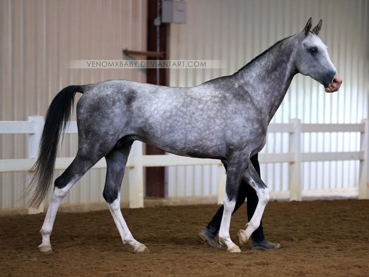 gray akhal-teke stallion 1 by venomxbaby