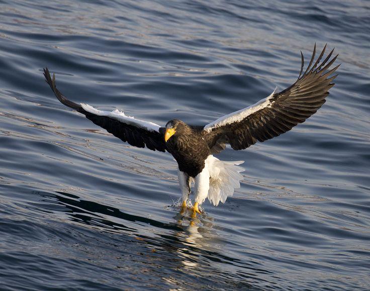 https://flic.kr/p/Q9CQBW | Japan | Steller's sea eagle catching fish.