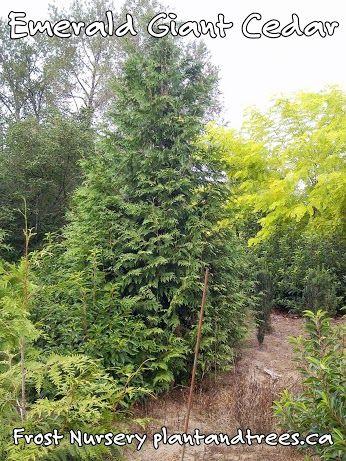 Fast Growing Evergreen Cedar Emerald Giant Thuja plicata Ornamental Western Red Cedar Frost Nursery
