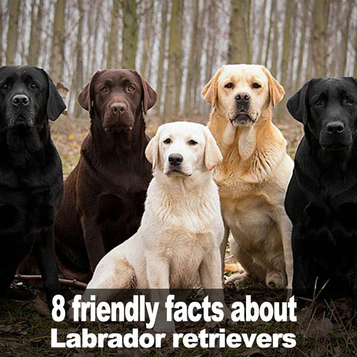 Here are 8 friendly facts about Labrador retrievers...
