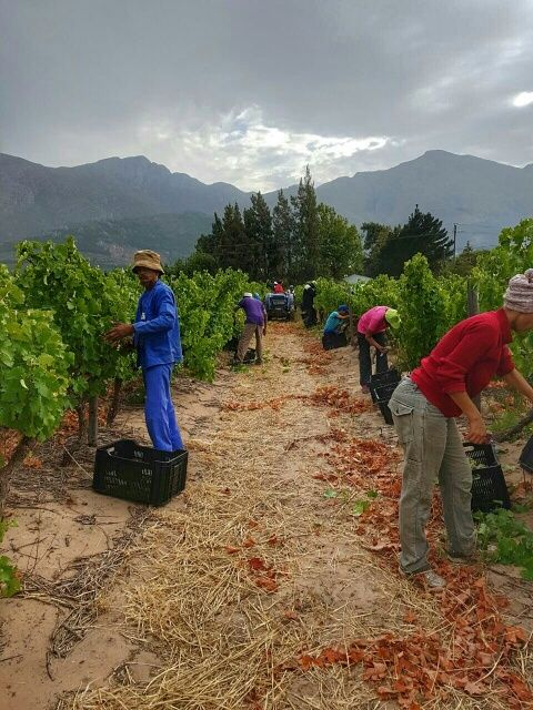 It is nice and cool on the farm #Harvest2017 http://www.grandeprovence.co.za/the-estate/our-wines/