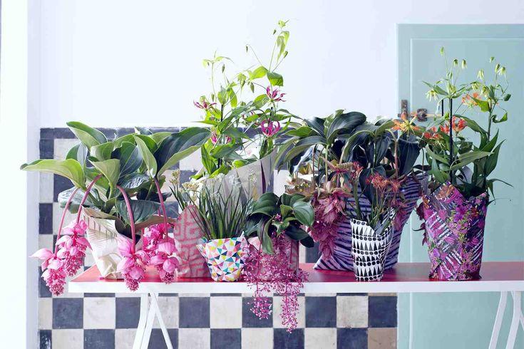 Zelfs mensen die niets met planten of met roze hebben, vallen meestal voor Medinilla, want deze weelderige woonplant is echt onweerstaanbaar. Tussen sierlijk golvende bladeren groeien in hoge bogen vierkante stengels die aanvoelen als kurk. Hier groeien grote roze bellen aan. En als die opengaan, komt daar weer een tros dieproze bloemetjes uit.