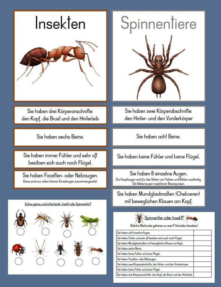 Unterschied Spinnentier - Insekt