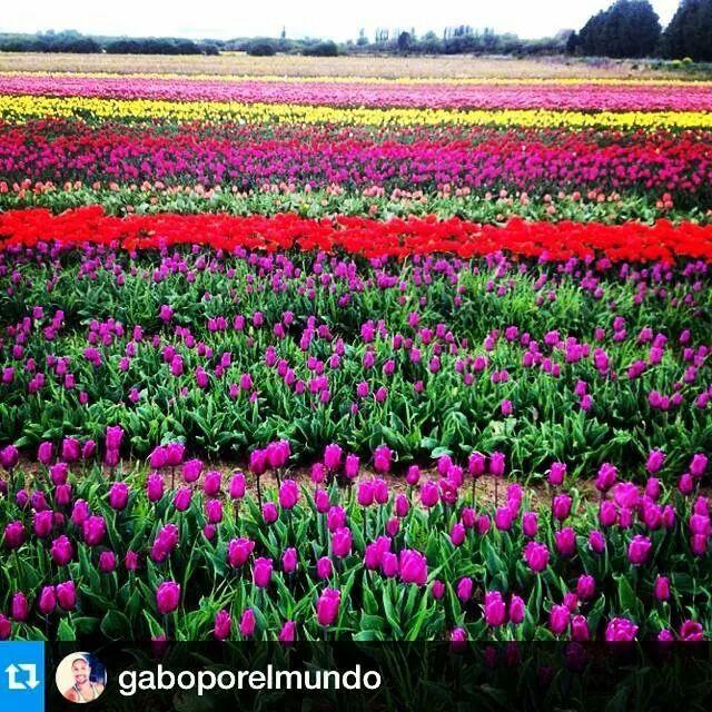 #Campos de #tulipanes #trevelin #patagonia
