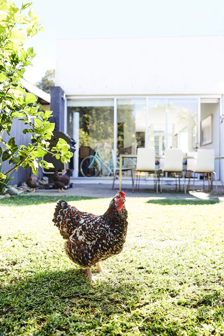 Raising chickens in the city. Photography: Kristina Soljo | Story: real living mag