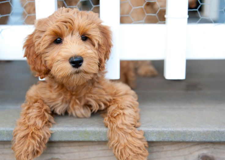 Waltzing Matilda's Labradoodles Australian Labradoodle Puppies. Non shedding,allergy friendly, smart. Breeding for Excellence, Temperament and Superior Health.