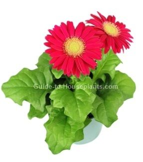Gerbera daisy care is easy. Just put a pot of gerbera flowers on your windowsill and they'll brighten up any room. Get tips for caring for gerbera daisies, pictures.