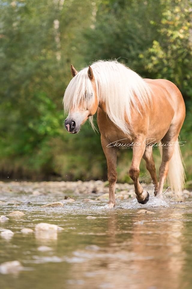 Haflinger walking in the creek bed. Beautiful horse photography!  BR Photographs