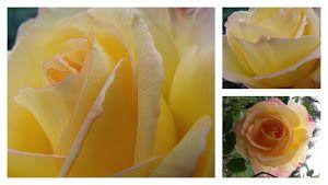 Gloria Dei rose from our garden.