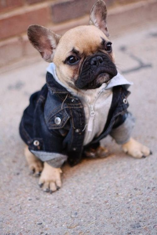 frenchie wearing a jean jacket